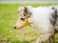 Langhaarcollie_Rough_Collie_bluemerle_welpe_Gaia_Lahnwiesen_Wiese_Marburg_Hundefotografie_Tierfotografie_Christine_Hemlep (11)