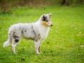 Langhaarcollie_Rough_Collie_bluemerle_welpe_Gaia_Lahnwiesen_Wiese_Marburg_Hundefotografie_Tierfotografie_Christine_Hemlep (21)