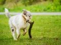 Langhaarcollie_Rough_Collie_bluemerle_welpe_Gaia_Lahnwiesen_Wiese_Marburg_Hundefotografie_Tierfotografie_Christine_Hemlep (27)
