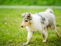 Langhaarcollie_Rough_Collie_bluemerle_welpe_Gaia_Lahnwiesen_Wiese_Marburg_Hundefotografie_Tierfotografie_Christine_Hemlep (7)