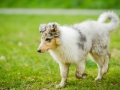 Langhaarcollie_Rough_Collie_bluemerle_welpe_Gaia_Lahnwiesen_Wiese_Marburg_Hundefotografie_Tierfotografie_Christine_Hemlep (9)