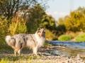 Hundemaedchen_Hundeseite_Hundefotografie_Hund_Wasserspass_Wasser_Lahn_Schwimmen_Gaia_Langhaarcollie_Collie_bluemerle_Lassie (10)