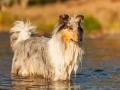 Hundemaedchen_Hundeseite_Hundefotografie_Hund_Wasserspass_Wasser_Lahn_Schwimmen_Gaia_Langhaarcollie_Collie_bluemerle_Lassie (22)