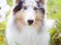 Langhaarcollie_Rough_Collie_hund_Gaia_bluemerle_Wiese_Hundefotografie_Marburg_Tierfotografie (3).jpg