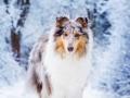 Hundemaedchen_Gaia_Langhaarcollie_Rough_collie_bluemerle_Winter_Schnee_Hundefotografie_Marburg (1)