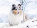Hundemaedchen_Gaia_Langhaarcollie_Rough_collie_bluemerle_Winter_Schnee_Hundefotografie_Marburg (5)