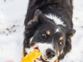 Hundemaedchen_Maggy_Border_Collie_Mischling_Mix_Winter_Schnee_Hundefotografie_Marburg (19)