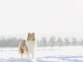 Hundemaedchen_Gaia_Langhaarcollie_Collie_Rough_bluemerle_Schnee_Winter_2015_Hund_Maedchen_Huendin (1)