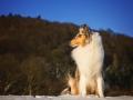 Hundemaedchen_Gaia_Langhaarcollie_Collie_Rough_bluemerle_Schnee_Winter_2015_Hund_Maedchen_Huendin (7)
