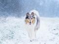 Langhaarcollie_Rough_Collie_Gaia_bluemerle_Hundefotografie_Marburg_Tierfotografie_Schnee_Winter_Fotografin_Christine_Hemlep (3).jpg