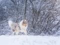Langhaarcollie_Rough_Collie_Gaia_bluemerle_Hundefotografie_Marburg_Tierfotografie_Schnee_Winter_Fotografin_Christine_Hemlep (31).jpg