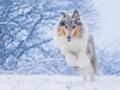 Langhaarcollie_Rough_Collie_Gaia_bluemerle_Hundefotografie_Marburg_Tierfotografie_Schnee_Winter_Fotografin_Christine_Hemlep (35).jpg