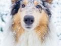 Langhaarcollie_Rough_Collie_Gaia_bluemerle_Hundefotografie_Marburg_Tierfotografie_Schnee_Winter_Fotografin_Christine_Hemlep (7).jpg