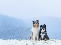 Langhaarcollie_Rough__Border_Collie_Gaia_Maggy_tricolor_bluemerle_Hundefotografie_Marburg_Tierfotografie_Schnee_Winter (1).jpg