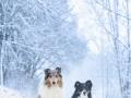Langhaarcollie_Rough__Border_Collie_Gaia_Maggy_tricolor_bluemerle_Hundefotografie_Marburg_Tierfotografie_Schnee_Winter (3).jpg