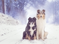 Langhaarcollie_Rough__Border_Collie_Gaia_Maggy_tricolor_bluemerle_Hundefotografie_Marburg_Tierfotografie_Schnee_Winter (7).jpg