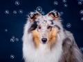 Langhaarcollie_Collie_Rough_Gaia_bluemerle_HemlepFotografie_Marburg_Hundefotografie_Tierfotografie_Hund (1)