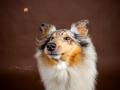 Hundemaedchen_Gaia_Langhaarcollie_Collie_Fotoshooting_Studioaufnahme_Fotografin_Anne_Guenst (1)