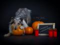 Hundemaedchen_Gaia_Langhaarcollie_Collie_Fotoshooting_Studioaufnahme_Fotografin_Anne_Guenst (3)