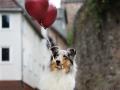 hundemaedchen_gaia_Langhaarcollie_Luftballons_Ballons_Marburg_Oberstadt_Altstadt_Fotoshooting_Shooting (4)