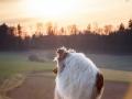 Langhaarcollie_Rough_Collie_Gaia_bluemerle_Hundefotografie_Marburg_Tierfotografie_Sonnenuntergang_Sonne_Licht_Stimmung (16).jpg