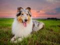 Hundemaechen_Gaia_Rough_Collie_Langhaarcollie_bluemerle_Wiese_Sonnenuntergang_Urlaub_Sonne_Untergang_Natur_Hund (17)