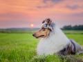 Hundemaechen_Gaia_Rough_Collie_Langhaarcollie_bluemerle_Wiese_Sonnenuntergang_Urlaub_Sonne_Untergang_Natur_Hund (25)