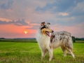 Hundemaechen_Gaia_Rough_Collie_Langhaarcollie_bluemerle_Wiese_Sonnenuntergang_Urlaub_Sonne_Untergang_Natur_Hund (3)