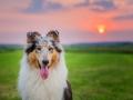 Hundemaechen_Gaia_Rough_Collie_Langhaarcollie_bluemerle_Wiese_Sonnenuntergang_Urlaub_Sonne_Untergang_Natur_Hund (9)