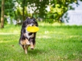 Hundefotografie_Tierfotografie_Hund_Border_Collie_Mischling_Maggy_tricolor_Frisbee_Sport_Fotografin_Christine_Hemlep_Marburg (1)