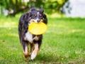 Hundefotografie_Tierfotografie_Hund_Border_Collie_Mischling_Maggy_tricolor_Frisbee_Sport_Fotografin_Christine_Hemlep_Marburg (3)