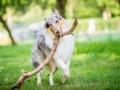 Hundefotografie_Tierfotografie_Hund_Langhaarcollie_Collie_Rough_bluemerle_Gaia_Fotografin_Christine_Hemlep_Marburg (15)