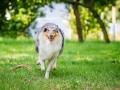 Hundefotografie_Tierfotografie_Hund_Langhaarcollie_Collie_Rough_bluemerle_Gaia_Fotografin_Christine_Hemlep_Marburg (29)