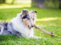 Hundefotografie_Tierfotografie_Hund_Langhaarcollie_Collie_Rough_bluemerle_Gaia_Fotografin_Christine_Hemlep_Marburg (3)