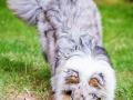 Hundefotografie_Tierfotografie_Hund_Langhaarcollie_Collie_Rough_bluemerle_Gaia_Fotografin_Christine_Hemlep_Marburg (33)