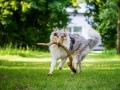 Hundefotografie_Tierfotografie_Hund_Langhaarcollie_Collie_Rough_bluemerle_Gaia_Fotografin_Christine_Hemlep_Marburg (39)