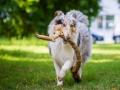 Hundefotografie_Tierfotografie_Hund_Langhaarcollie_Collie_Rough_bluemerle_Gaia_Fotografin_Christine_Hemlep_Marburg (43)