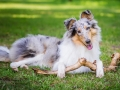 Hundefotografie_Tierfotografie_Hund_Langhaarcollie_Collie_Rough_bluemerle_Gaia_Fotografin_Christine_Hemlep_Marburg (45)