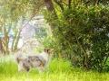 Hundefotografie_Tierfotografie_Hund_Langhaarcollie_Collie_Rough_bluemerle_Gaia_Fotografin_Christine_Hemlep_Marburg (49)