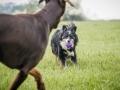 Border_Collie_Mischling_Maggy_Dobermann_spencer_braun_gemeinsam_Hundefreunde_Freunde_Hunde (10)