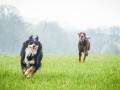 Border_Collie_Mischling_Maggy_Dobermann_spencer_braun_gemeinsam_Hundefreunde_Freunde_Hunde (2)