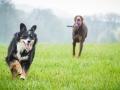 Border_Collie_Mischling_Maggy_Dobermann_spencer_braun_gemeinsam_Hundefreunde_Freunde_Hunde (4)
