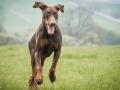 Brauner_Dobermann_Spencer_Marburg_Wiese_rennen_spielen_Spass_Hund (5)