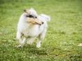 Langhaarcollie_Gaia_Bluemerle_welpe_Puppy_Junghund_Baby_Wiese_suess_flauschig (4)