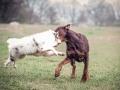 Langhaarcollie_Gaia_bluemerle_Welpe_Dobermann_spencer_braun_gemeinsam_Hundefreunde_Freunde_Hunde (1)