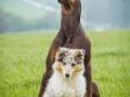 Langhaarcollie_Gaia_bluemerle_Welpe_Dobermann_spencer_braun_gemeinsam_Hundefreunde_Freunde_Hunde (13)