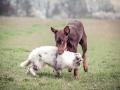 Langhaarcollie_Gaia_bluemerle_Welpe_Dobermann_spencer_braun_gemeinsam_Hundefreunde_Freunde_Hunde (3)