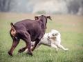 Langhaarcollie_Gaia_bluemerle_Welpe_Dobermann_spencer_braun_gemeinsam_Hundefreunde_Freunde_Hunde (4)