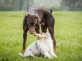 Langhaarcollie_Gaia_bluemerle_Welpe_Dobermann_spencer_braun_gemeinsam_Hundefreunde_Freunde_Hunde (6)