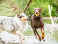 Gaia_Langhaarcollie_Maggy_Border_Collie_Rough_bluemerle_tricolor_Spencer_brauner_Dobermann_Hundefreunde_Freunde_Gassi (24)